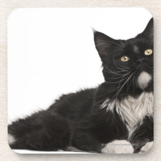 Maine Coon (15 months old) Coaster