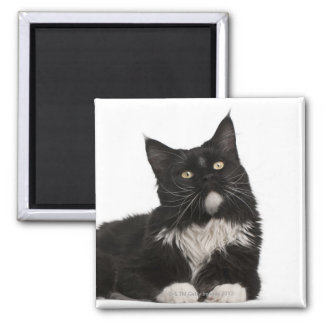 Maine Coon (15 months old) Magnet