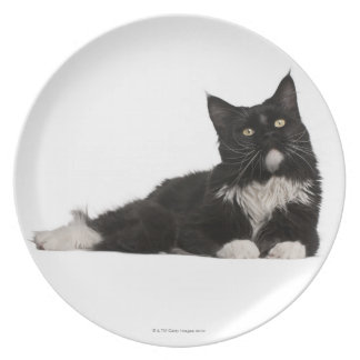 Maine Coon (15 months old) Plate