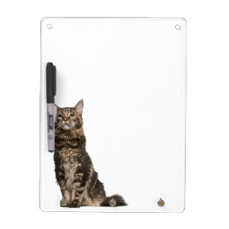 Maine Coon (8 months old) Dry Erase Board