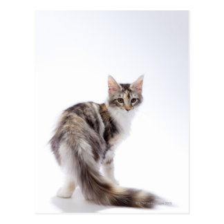 Maine Coon cat Postcard
