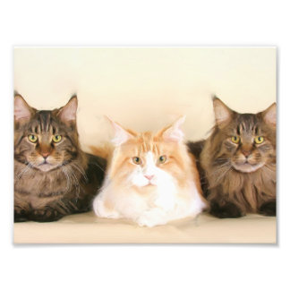 Maine Coon Cats Photo