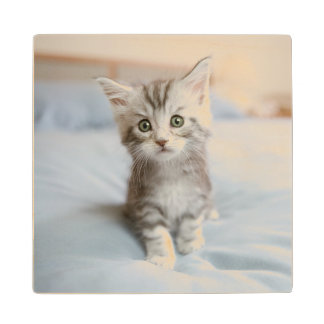 Maine Coon Kitten Sitting On Bed Wood Coaster