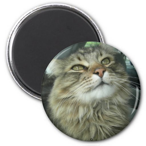 Maine Coon kitty Magnets