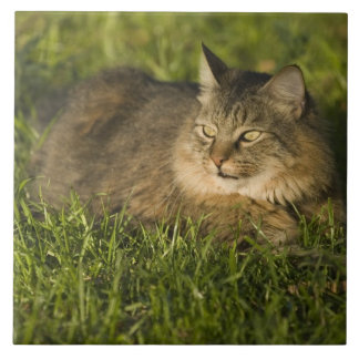 Maine coon (largest breed of domestic cats) large square tile