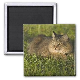Maine coon (largest breed of domestic cats) magnet