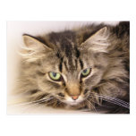 Maine Coon Postcard