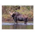 Maine Cow Moose Postcard