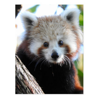 Maiya The Red Panda Postcard