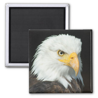 Majestic Bald Eagle Portrait 2 Inch Square Magnet