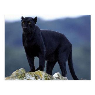 Majestic Black Panther Postcard