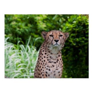 Majestic Cheetah Postcards