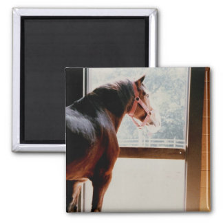 Majestic Clydesdale Square Magnet
