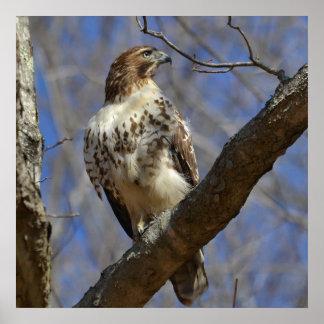 Majestic Hawk Poster