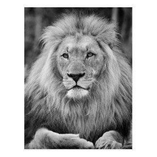 Majestic male lion black and white photo postcard