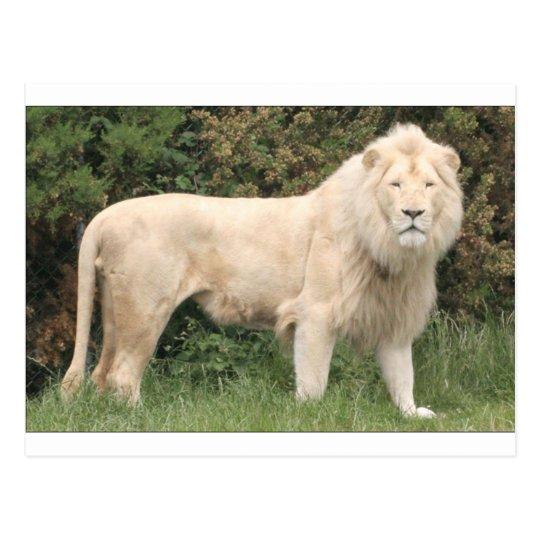 Majestic White Lion Postcard