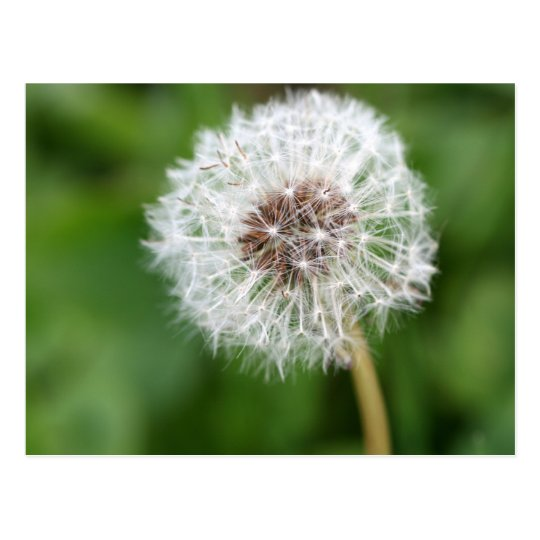 Make A Wish! Dandelion Postcard