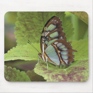 Malachite butterfly (Metamorpha stelenes) Mouse Mat