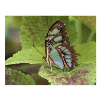 Malachite butterfly (Metamorpha stelenes) Postcard