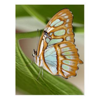 Malachite Butterfly Postcard