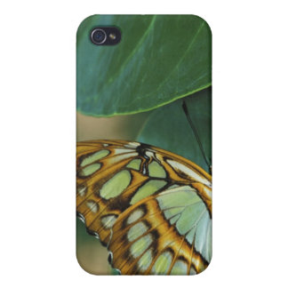 Malachite Butterfly, Siproeta stelenes, iPhone 4 Covers