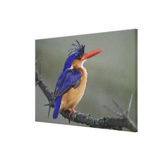 Malachite Kingfisher, Alcedo cristata, Lake Canvas Print