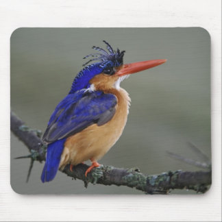 Malachite Kingfisher, Alcedo cristata, Lake Mouse Pad
