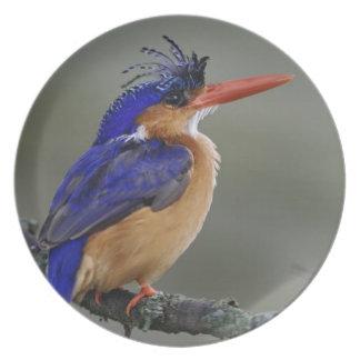 Malachite Kingfisher, Alcedo cristata, Lake Plate