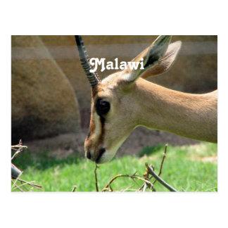 Malawi Gazelle Postcard