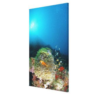Maldives Anemone fish swimming underwater Canvas Print