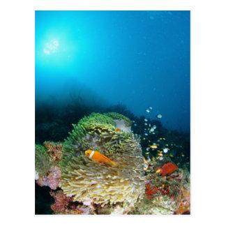 Maldives Anemone fish swimming underwater Postcard
