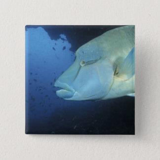 Maldives, Napoleanfish Chelinus undulatus) 15 Cm Square Badge