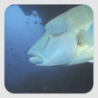 Maldives, Napoleanfish Chelinus undulatus) Square Sticker