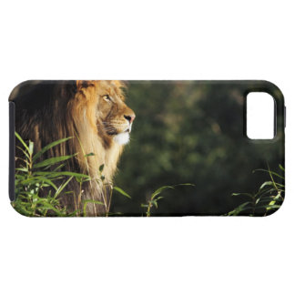 Male African lion at the zoo in Washington, D.C. 2 iPhone 5 Covers