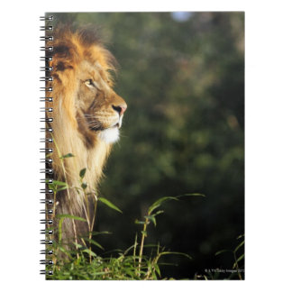 Male African lion at the zoo in Washington, D.C. 2 Notebooks