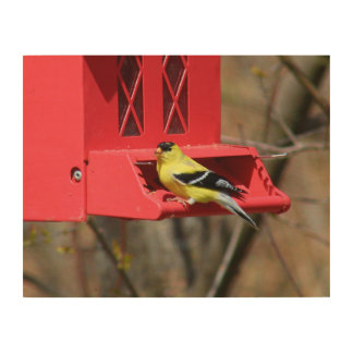Male American Goldfinch III Wood Prints
