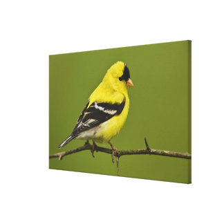 Male American Goldfinch in breeding plumage Gallery Wrapped Canvas