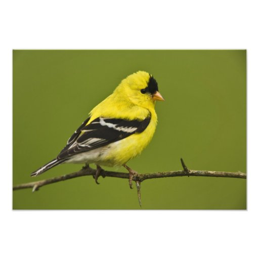 Male American Goldfinch in breeding plumage, Photo Print