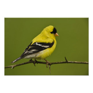 Male American Goldfinch in breeding plumage, Poster