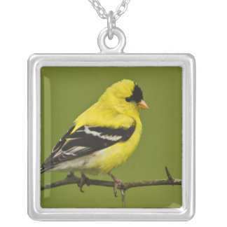 Male American Goldfinch in breeding plumage, Silver Plated Necklace