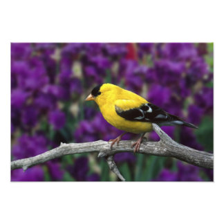 Male, American Goldfinch in summer plumage, Art Photo