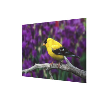 Male, American Goldfinch in summer plumage, Canvas Prints