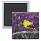 Male, American Goldfinch in summer plumage, Magnet