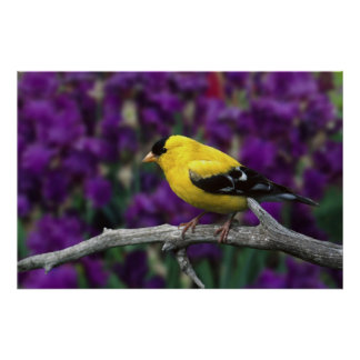 Male, American Goldfinch in summer plumage, Poster