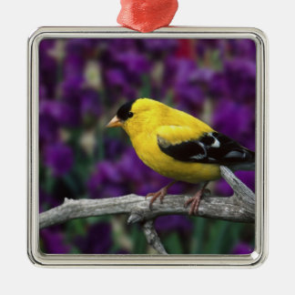 Male, American Goldfinch in summer plumage, Silver-Colored Square Decoration
