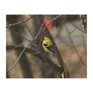 Male American Goldfinch Wood Print