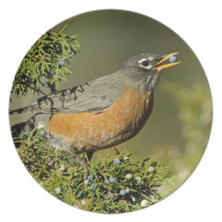 Male American Robin eating juniper tree Dinner Plate