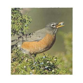 Male American Robin eating juniper tree Notepad