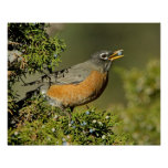 Male American Robin eating juniper tree Posters