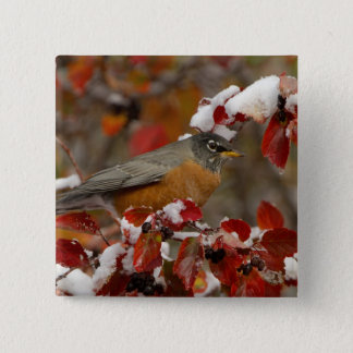 Male American Robin in Black Hawthorn 15 Cm Square Badge